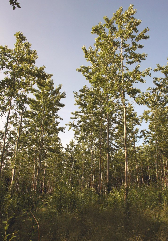 Bio4Energy Poplar Plantation